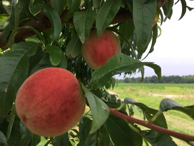 Peaches Are Here!