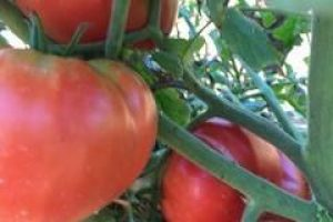 Heirloom tomatoes in Albany NY