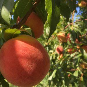 Local peaches in new york